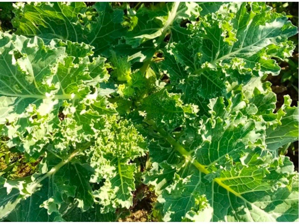 Jarmuż zielony - pęk